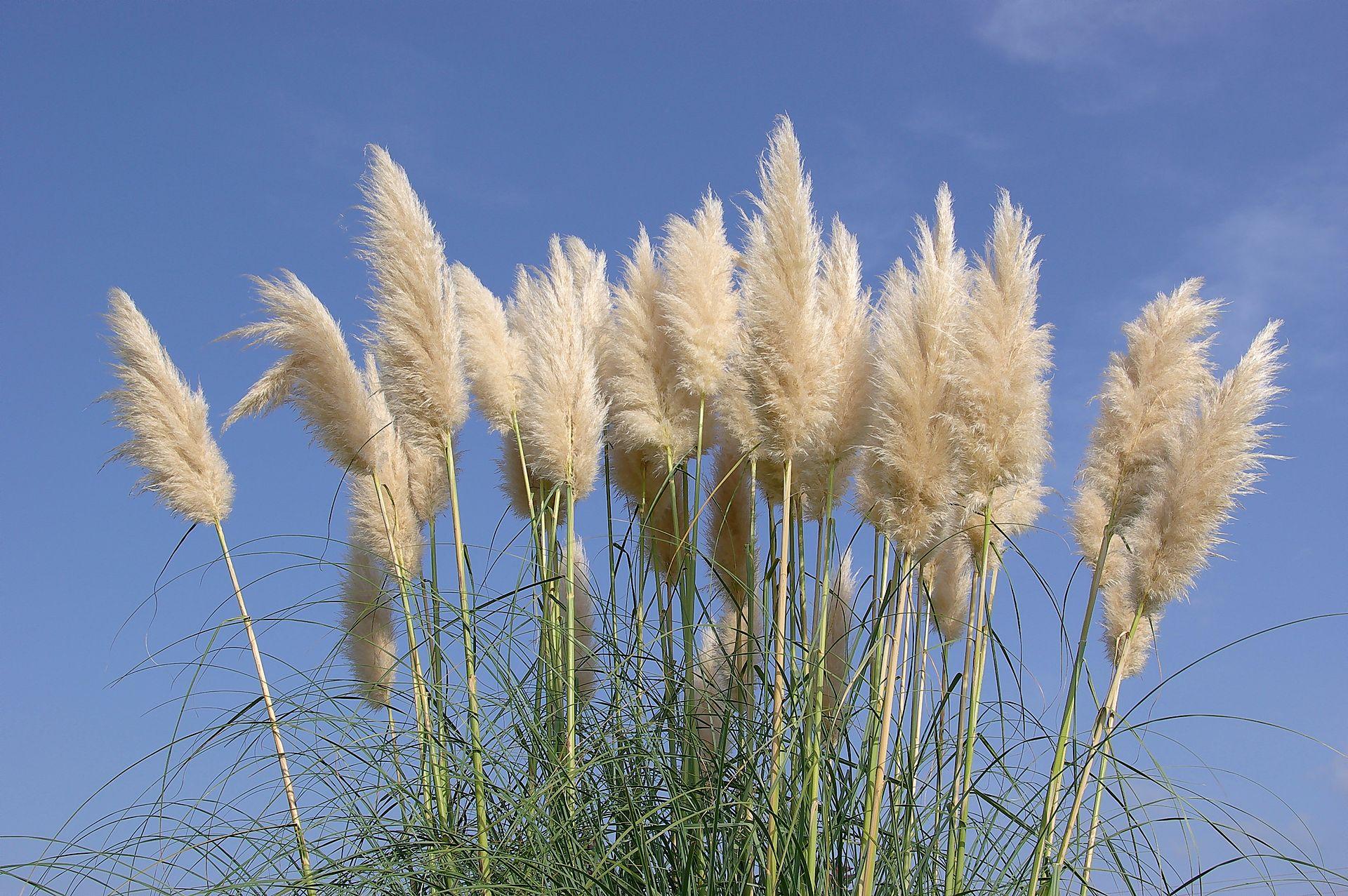 Det populära (men opraktiska) pampas-gräset